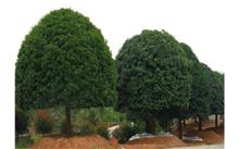 """梅州:""""市树""""确定为桂花树"""