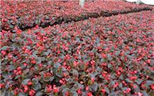 泉州种苗花卉热销海外