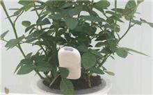 开心果树盆栽应该怎么养?盆栽果树矮化方法有哪些?