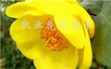 油茶果树种植