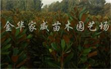 白玉兰怎样培植后代?东北可以种植白玉兰吗?