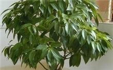白玉兰叶子枯萎,盆栽白玉兰夏季枯叶怎么办?