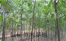 苗木移栽的大规格苗木移栽的特点,关于松树移植