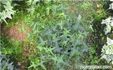 桔柚苗的种植技术 刚刚种植,东方红橘多少年挂果?