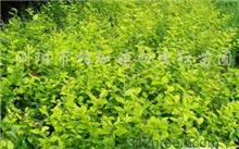 小叶罗汉松怎么养?罗汉松小盆栽怎么养?
