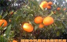 油茶树什么品种较好?油茶树的种植