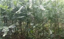 红豆杉种植的具体经济效益?红豆杉的种类及价值分别有哪些?