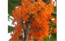 关于红豆杉品种
