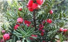 有人知道红豆杉吗?红豆衫的药用价值?