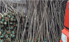 四季桂叶子卷曲是啥病害?四季桂怎样种植?