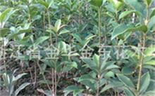 桂花的品种及种植方法。,冬青的繁殖和管理