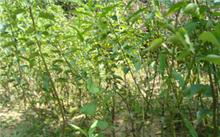 海棠果对身体有害吗?海棠果都可以怎么吃?
