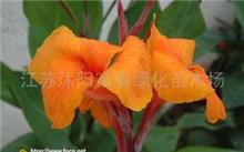 洋桔梗的花语是什么?盆栽洋桔梗花可以常年开花吗?