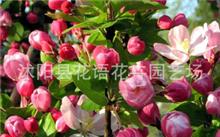 海棠果是海棠花的果实吗?海棠果是不是山楂啊?