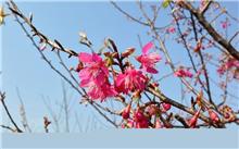 南京梅花山的梅花品种有哪些?梅花有几个品种?