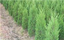 针叶松有什么疗效?针叶松树籽有什么用?