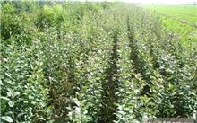 海棠果和樱桃有什么区别?海棠果可以直接种吗?