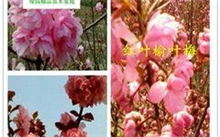 梅花品种和图片介绍哪里有?红梅开花的是新枝还是老枝