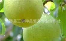 沙糖桔什么时候放秋梢?沙糖桔在上海可以种植吗?