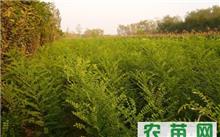 国槐树苗价格表,槐树苗种植应该注意哪些事项?