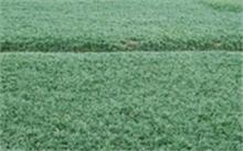 洋桔梗的花语,洋桔梗种植方法以及怎样移栽?
