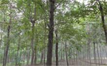 重阳木斑蛾怎么防治?重阳木锦斑蛾的介绍