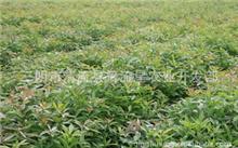 怎样种植重阳木?重阳木四季的色彩和图片