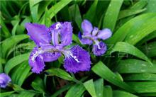 紫色石竹花语是什么 石竹的?