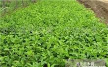 二年根一年苗国槐小苗栽植技术,如何育槐树苗?