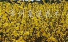 美人蕉的花有 几种颜色?美人蕉花的基本资料