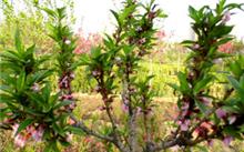 车厘子种植得地方是不是不能有樱桃