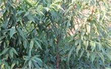 樱桃种植方法(农业),樱桃种子如何种植?