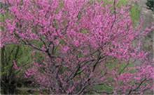 桃树有什么用途?桃树长什么样子?