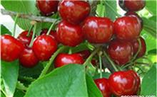 樱桃如何种植?樱桃种植