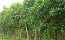 琴叶榕的叶子耷拉该怎么办?芭比琴叶榕树苗的种植方法