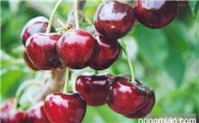 如何种植樱桃(一般的樱桃)?大樱桃苗如何种植?