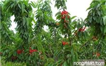 樱桃种植技术?请问樱桃种植的环境条件是什么?