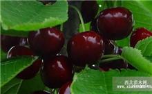 樱桃种植环境,樱桃苗种植方法