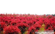 山东樱桃的种植应注意什么?樱桃种植条件和区域