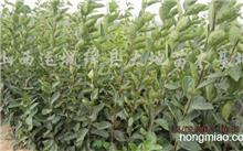 琴叶榕能稼接在大叶榕树上吗?