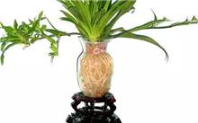 吊兰花的特征和生活环境,吊兰花的养殖
