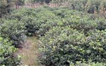 樱桃栽培技术,樱桃种植条件