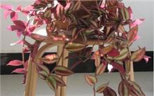 吊兰花有多少种类?吊兰花的种类