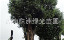 园林绿化树木(昆明地区),园林绿化常用的速生树种有哪些?
