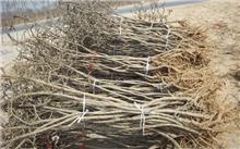 枸杞树几年结果,枸杞树功效到底有多少?