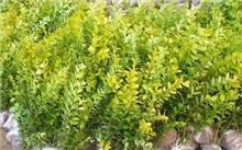 山上适合种什么草花?香樟组培苗种植方法
