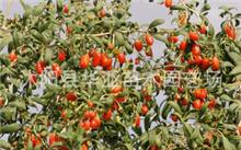 枸杞树秋季能移植吗?冬天枸杞树可以栽培吗?