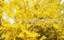 枸杞子树六年不开花,枸杞树能活几年