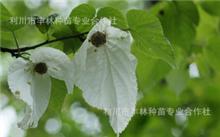 珙桐可以在山东种植吗?我国珍稀被子植物