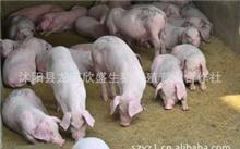 生猪养殖技术